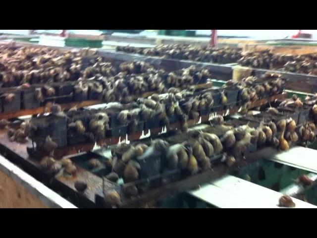 Polish Snail Holding : HODOWLA ŚLIMAKÓW- reprodukcja