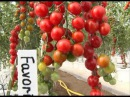 Выращивание томатов в ведрах. Интересный способ