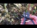 Обрезка ремонтантной малины / Обрезка летней малины