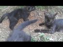 5 - Кошка играет с котятами 163, 6 авг.2017