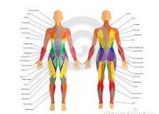 Анатомия,физиология және дене шынықтыру гигиенасының негіздері.