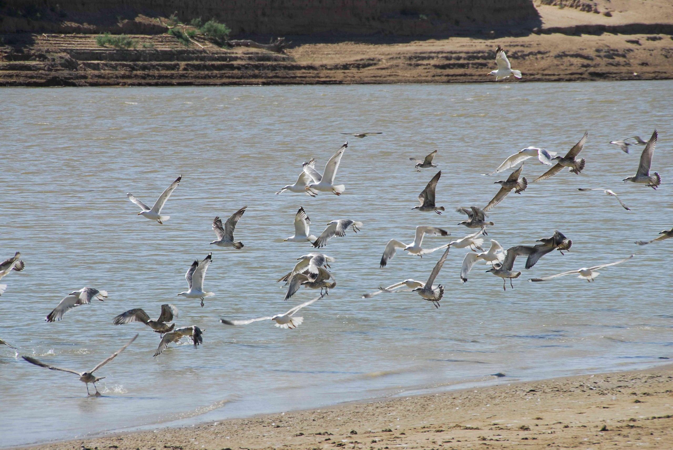 Чайки над рекой Урал