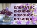 КЛЕМАТИС КНЯЖИК ЛОМОНОС ЛОЗИНКА научное и народные названия клематисов