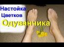 Настойка цветков Одуванчика. Ревматизм. Остеохондроз. Подагра. Артрит. Радикулит | edblack
