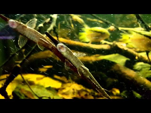 Río Orinoco biotoop bij Aquarium Speciaalzaak Utaka - Farlowella vittata paring