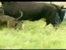 Алано VS бык (притравка, собачьи бои)