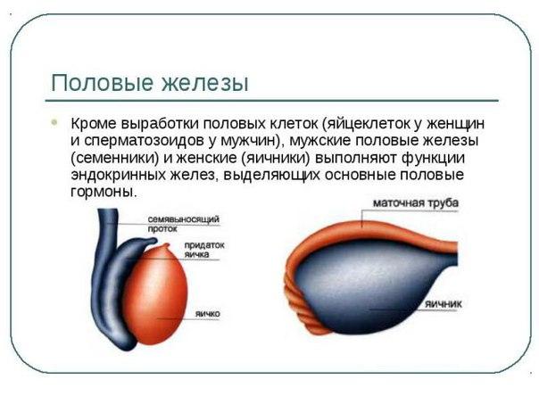 uluchshenie-muzhskogo-spermatogeneza-gormonami