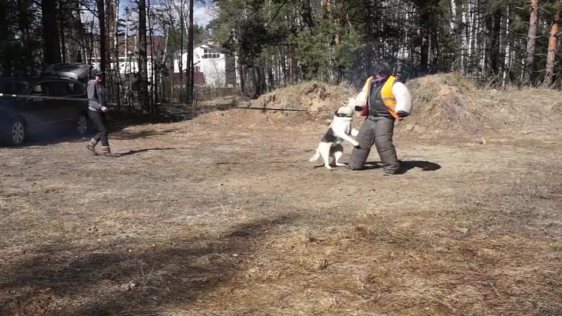 Тренировка для работы при взрывах, собаки питомника Веолар город Коломна 2017