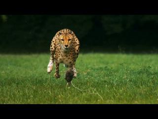 Бег гепарда в замедлении