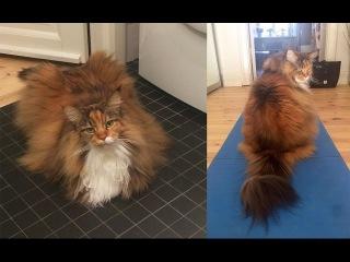 Мегапушистый мейн-кун - кот по имени Пиксель!