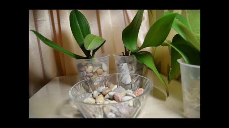 Орхидеи в камнях Мой новый метод по наращиванию корней 06 09 2017