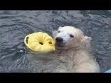 Медвежонок увлёкся новой игрушкой. Polar bear was fascinated by a new toy