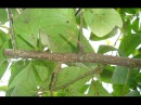 Простейший метод лечения лимона от щитовки Diaspididae treatment.
