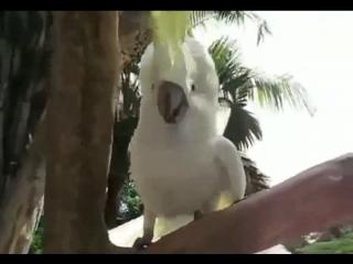 Попугайчики танцуют под музыку / Попугай певец поет / смеётся / передразнивает / пародирует / Смешное видео /