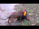 Маленькая собачка играется на Бальзака