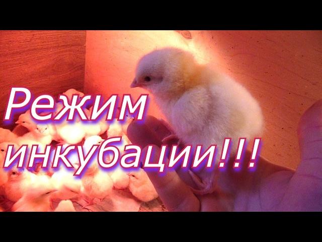 Режим инкубации куриных яиц Выведение цыплят в инкубаторе Инкубация в домашних условиях