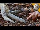 ЖИВОЙ ДИНОЗАВР!КАЗУАР - самая опасная птица на планете.Brave Wilderness на русском