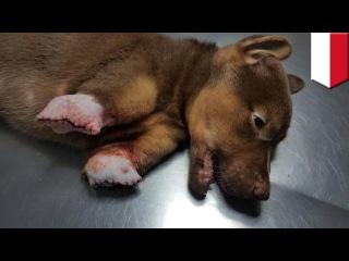 Индонезия — 3-х месячного щенка нашли с отрубленными ногами и другими следами жестокого насилия!