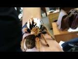 мохнатый паук ползает по руке