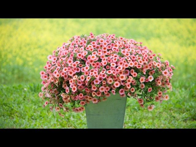 Калибрахоа - мечта цветоводов