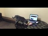 Как отучить кота ходить по столу?