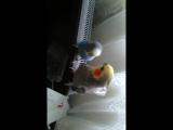 Мои попугаи