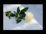 роза белая заплатка