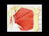Вот от чего вырастут ваши мышцы! Вас все время обманывали