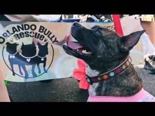 Нарядный питбуль: в Орландо прошел предновогодний собачий парад