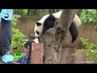 Противник селфи: детеныш панды резко прервал фотосессию туристки