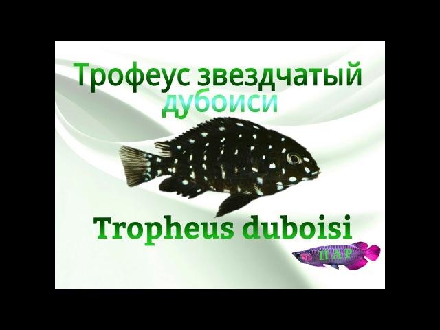 Аквариумные рыбки.Трофеус звездчатый.Дубоиси.Tropheus duboisi «Karilani»