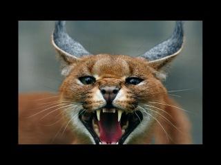 Каракал. Интересный фильм про кошек. Степная рысь