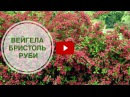 Цветущие кустарники 🌺 Вейгела бристоль руби 🌺 Украшаем сад огород с hitsadTV