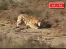 Охота Тигра и Льва Нападение на жертву