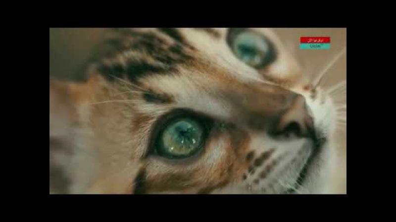 Передача о бенгальской кошке Дай лапу на Uaan tv.
