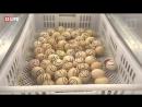 «Весеннее спорт-лото»,тотализатор с вылуплением яиц часть 2 — прямая трансляция