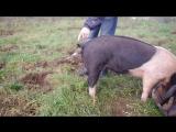 Как за несколько секунд выпрямить хвост свинье.