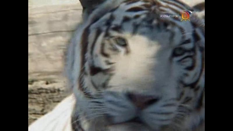 Animal Planet. Человек и львы (1-3 сезоны: 1-43 серии из 43) / The Lion Man / 2004-2008 /21