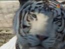 Animal Planet. Человек и львы 1-3 сезоны 1-43 серии из 43 / The Lion Man / 2004-2008 /21