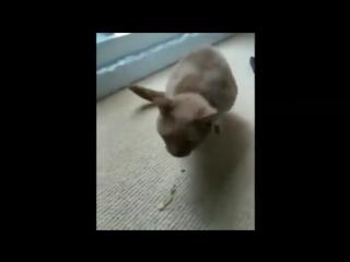 Блюющие коты