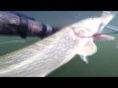 Подводная охота на крокодила. Щука 10кг.
