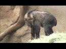 Baby Takin Jumps Climbs and Explores Habitat