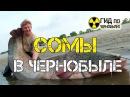 Сомы в Чернобыле - видео про рыб-мутантов Чернобыльской Зоны Отчуждения