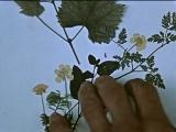 Саповнела. Цветок, который никто не может найти (Отар Иоселиани) 1959