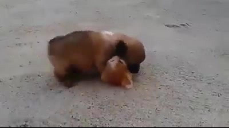 Дружба )) як песик намагається з усіх сил дружити з котиком ))