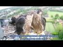 Norwich Cathedral The Peregrine 2016 Story