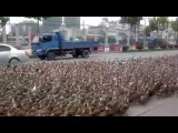 Taizhou farmer takes 5,000 ducks for a walk  That's Mags