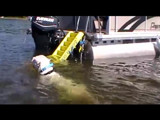 Dogo argentino fetching decoy in water [#аргентинскийдог]