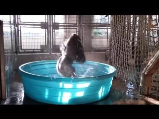 Splash Dance! Gorilla Dances to Flashdances Shes a Maniac