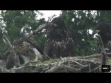 Eagle pulled by the head! - Eagle Hawk nest 20 June 2017 Sidney B.C.